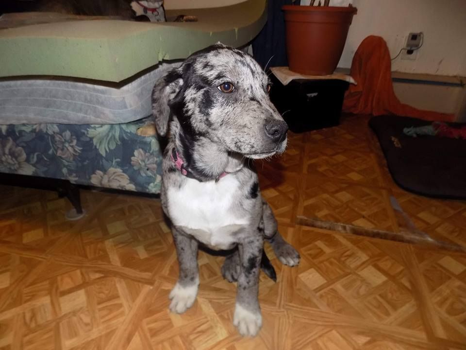 Catahoula Leopard Dog dog for Adoption in Tenafly, NJ. ADN