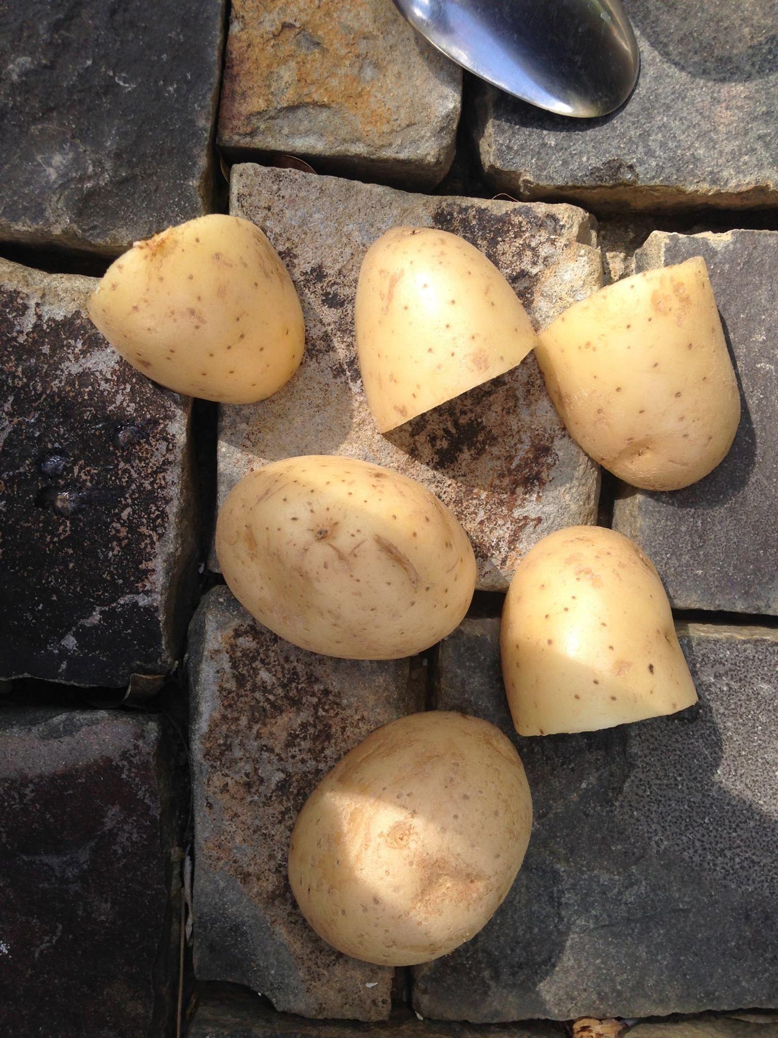 papa: La mejor forma de cultivar papas o patatas es hacerlo a través del tubérculo mismo (papa o patata) y no por semillas. Es de vital importancia nunca plantar un tubérculo que este enfermo. Se cortan en cuatro pedazos y se ponen al sol no es necesario agregar agua.   16 abril Andrea Lozano