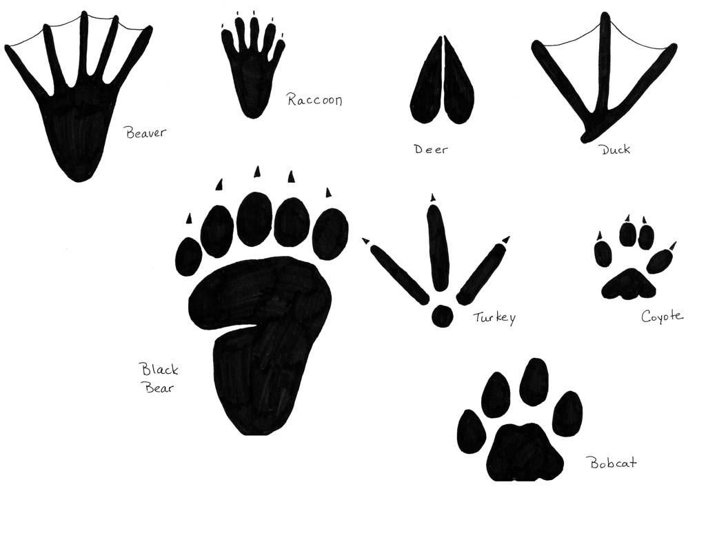 19 Awesome Raccoon Tracks Clipart