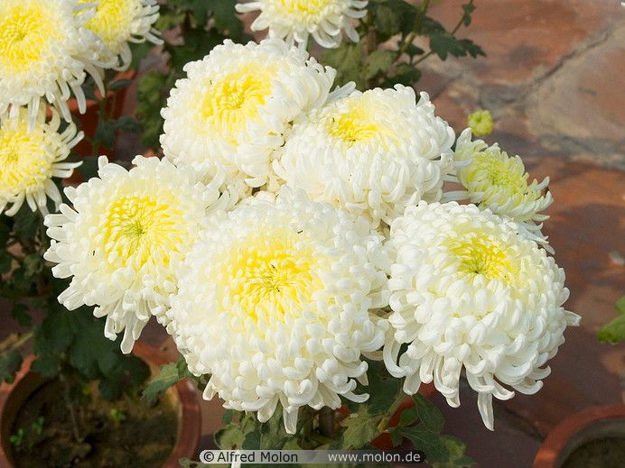 what do chrysanthemums symbolize