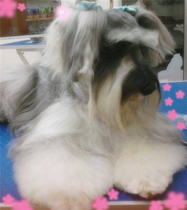 Long Hair Schnauzer Dogs Pet Dogs