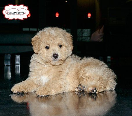 Dreamy Puppy On Mixed Breed Puppies Puppy Store Miniature Poodle Puppy