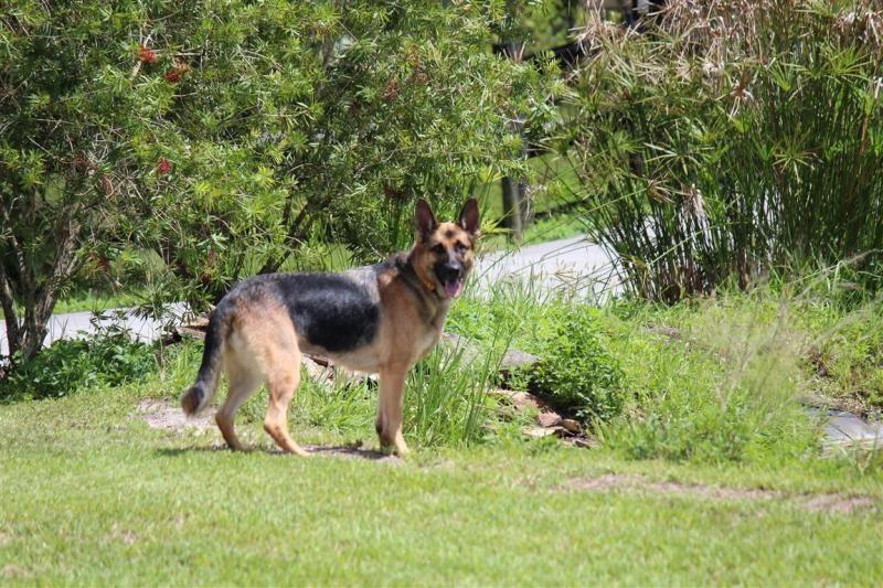 Adopt Sheba On German Shepherd Dogs German Shepherd Rescue