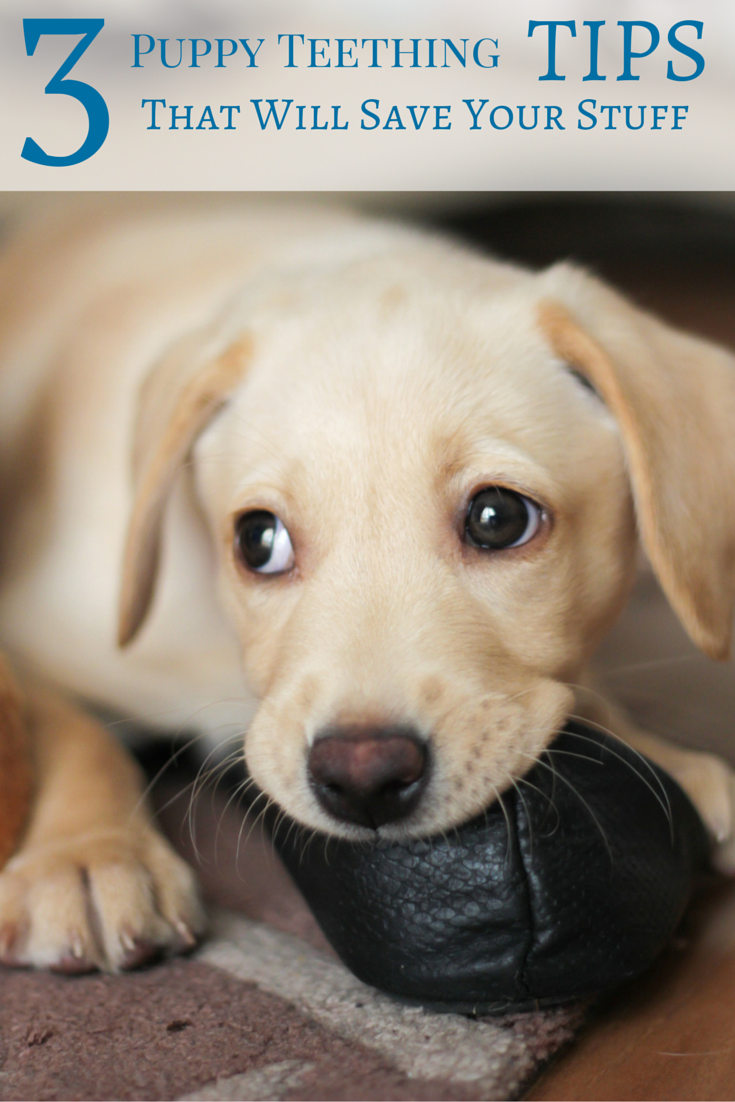 Is you puppy chewing socks, shoes, tables, carpets