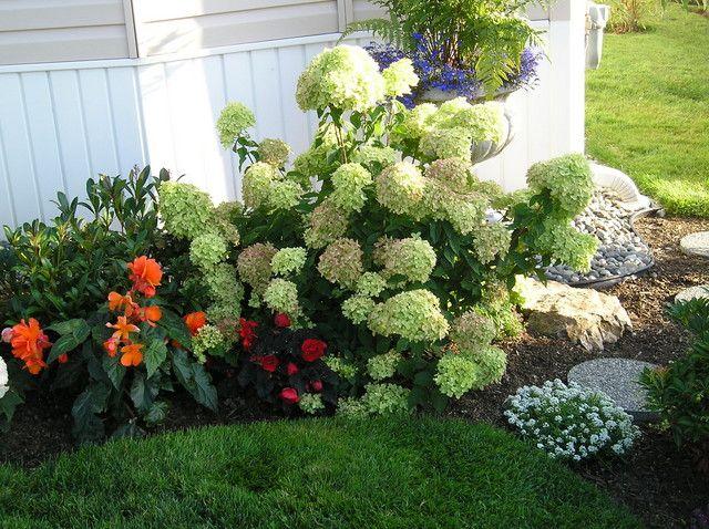 Little Lime Hydrangeas Cottage Garden Forum Gardenweb Little Lime Hydrangea Organic Plants Home Vegetable Garden