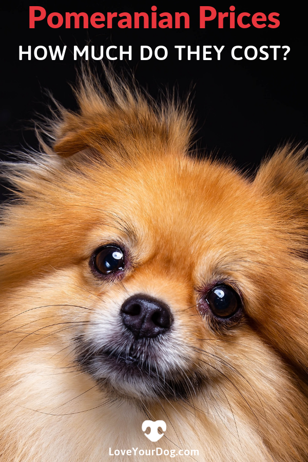 Pomeranian Prices How Much Do Pomeranian Puppies Cost