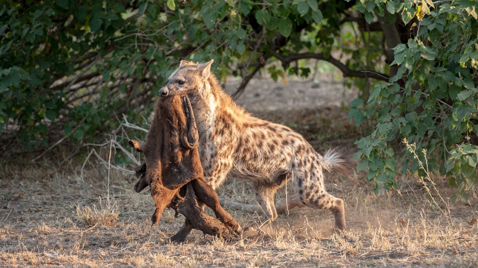 """A hyena carries the skin of a young buffalo in its mouth in Kruger National Park ©<a href=""""http://www.africaphotography.co.za/"""" target=""""_blank"""">Corlette Wessels</a>"""
