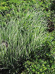 Click to view full-size photo of Variegated Oat Grass - (Arrhenatherum elatum 'Variegatum') at Jensen's Nursery & Landscaping Part Shade to full sun