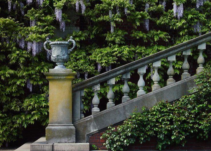 Beautiful wisteria! Westbury gardens, Old westbury