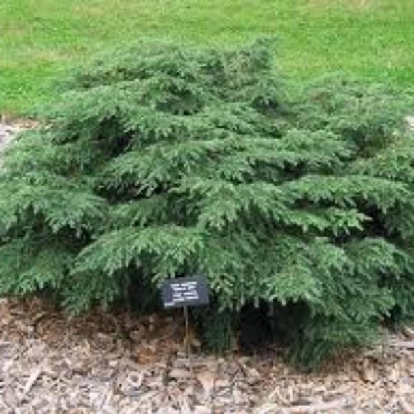 Tsuga Canadensis Jeddeloh Dwarf Hemlock My Garden Pinterest