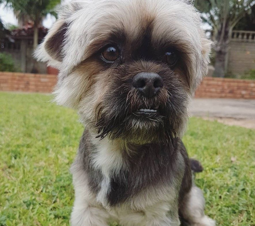32 Dogs Mixed With Yorkshire Terriers Yorkshire Terrier Puppies