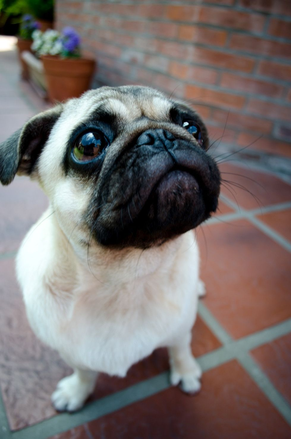 I Ve Always Wanted A Pug What S Your Favorite Kind Of Dog Pugs