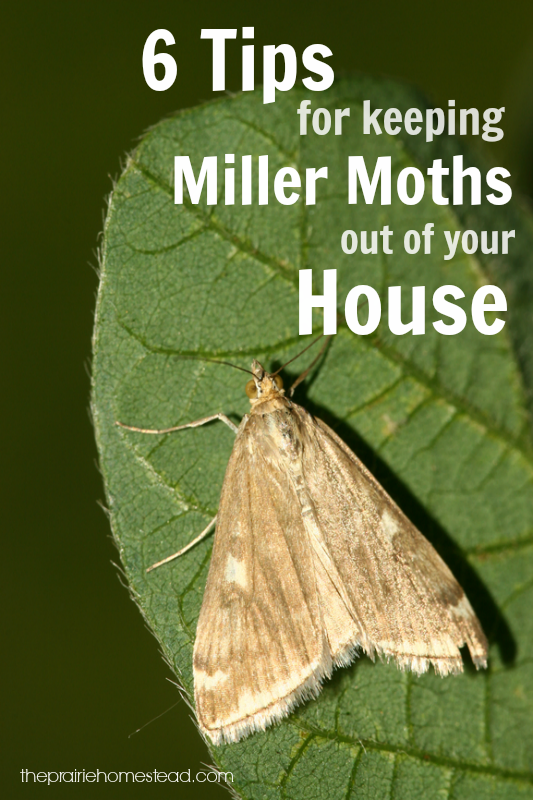 6 Ways To Keep Miller Moths Out Of Your House The Prairie Homestead Getting Rid Of Moths Moth Moths In House