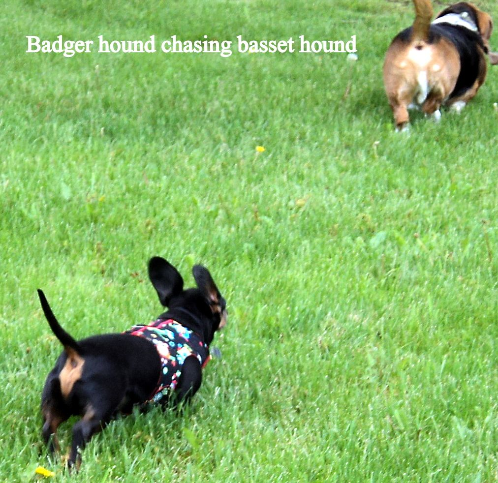 Badger Hound Chasing Basset Hound Or Hot Dog Chasing Kielbasa