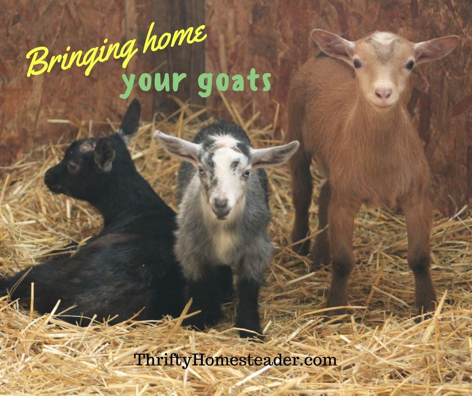 Bringing Home Your Goats The Thrifty Homesteader Goats Hobby Farms Cute Goats