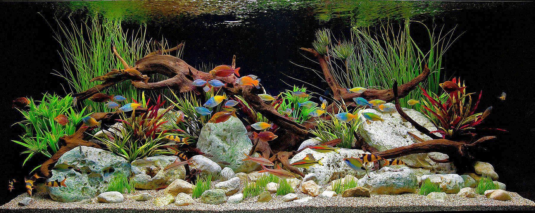 Freshwater Tropical Aquarium Fish Tropical Aquarium Freshwater Aquarium Aquarium Design