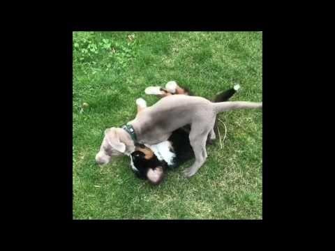 Labrador Retriever Puppies Miami Miami Of Ohio Puppy Merger