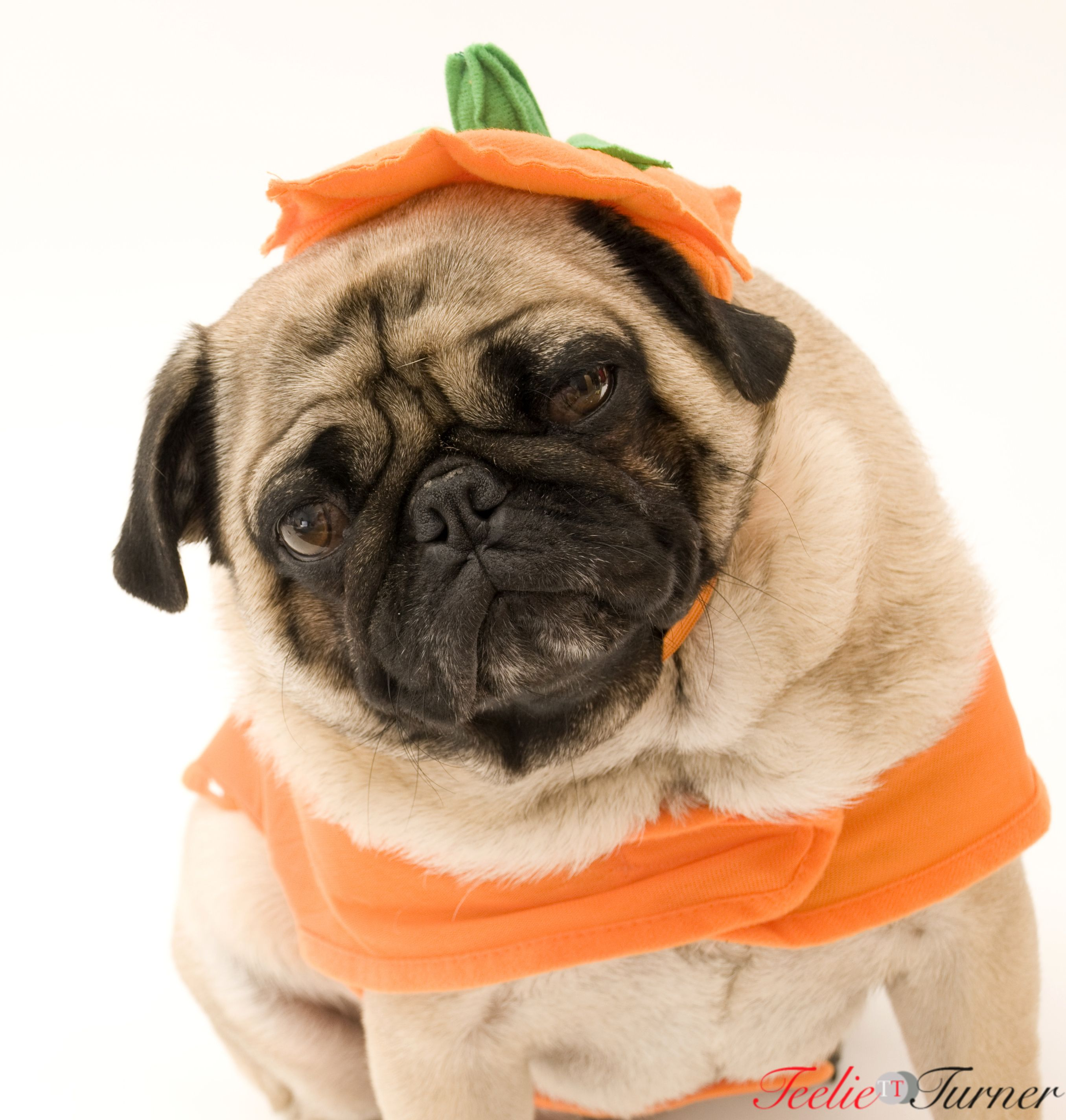 cute halloween Cute pugs