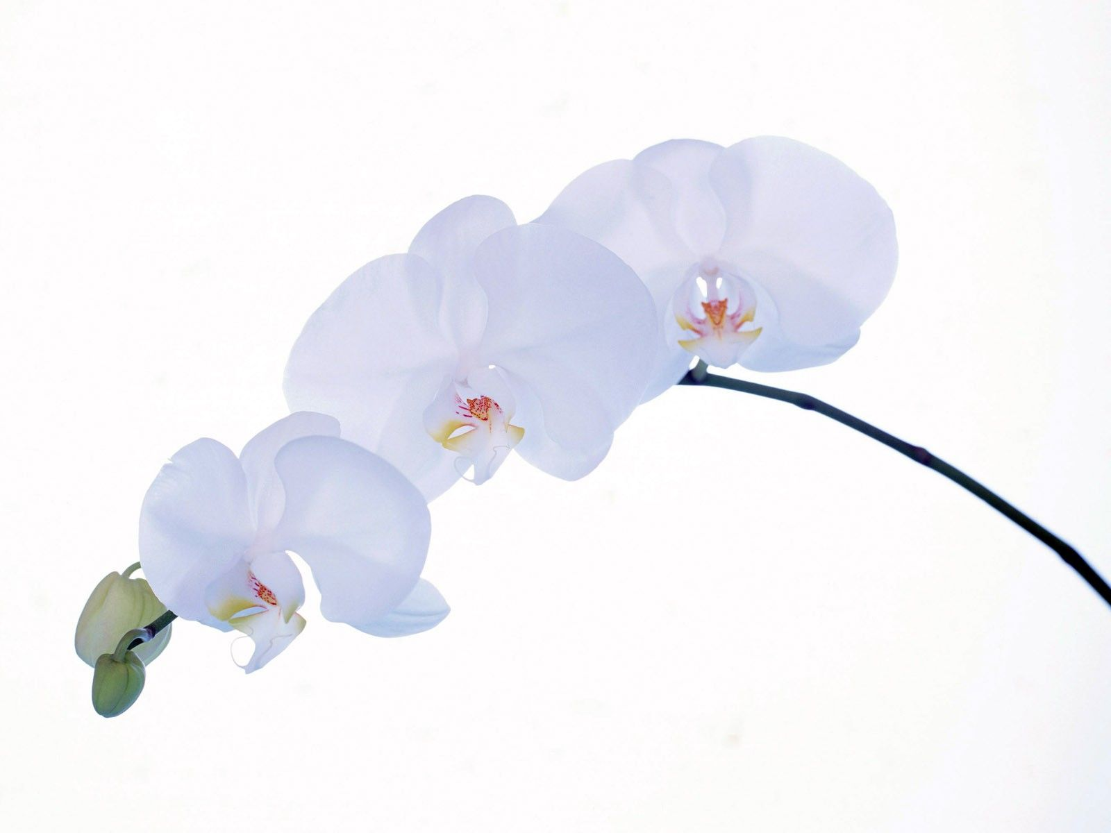 White Orchid Wallpapers Hd Wallpapers Laptop Wallpapers Orchid Wallpaper White Orchids Orchid Photo