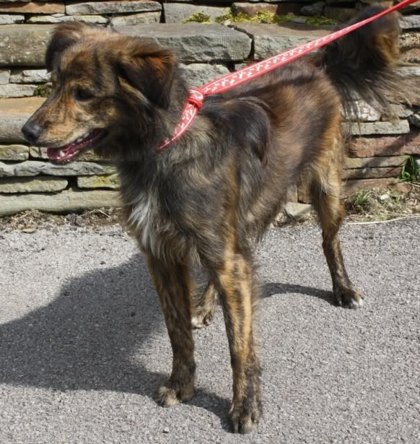 Charlie Brindle Collie X Unique Dog Breeds Rare Dog Breeds Hybrid Dogs