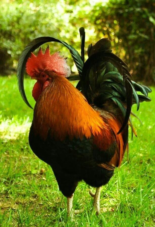 coq domestique la poule ou coq ou encore poulet domestique est une sous esp ce d 39 oiseaux de l. Black Bedroom Furniture Sets. Home Design Ideas