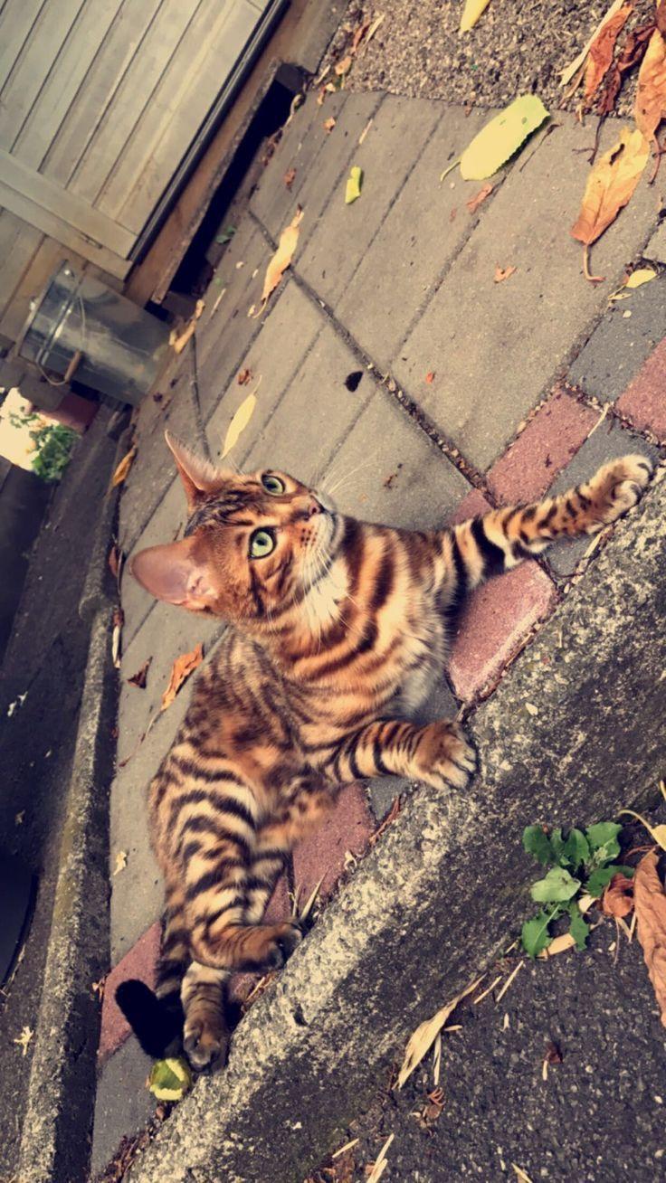 Simba*_* prettycat Bengal cat facts, Bengal cat, Bengal