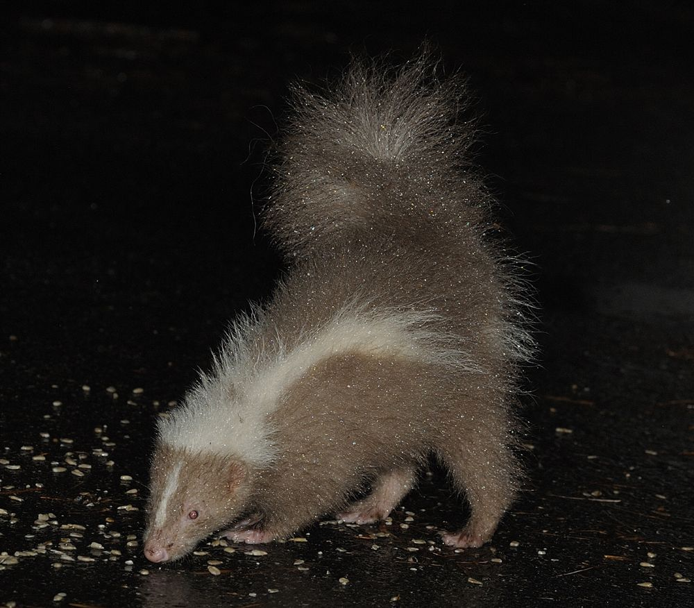 brown skunk skunks pinterest animal and beautiful creatures