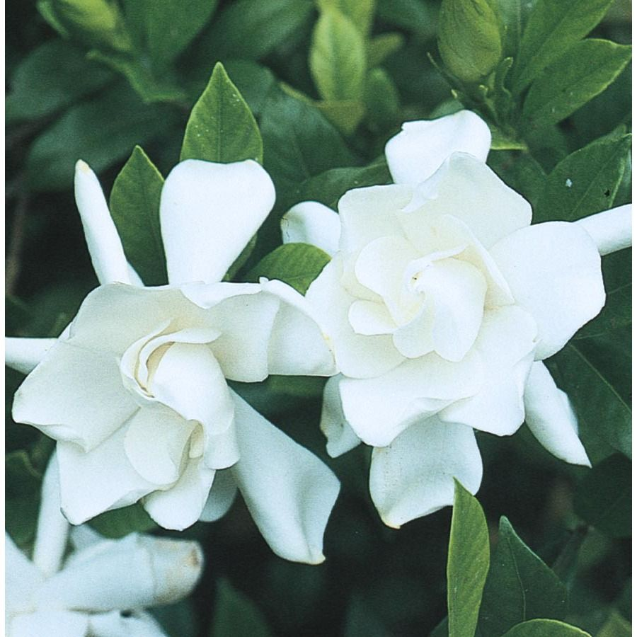 White Frost Proof Gardenia Flowering Shrub In Pot With Soil