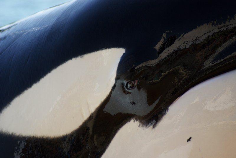 orca eye Gallery