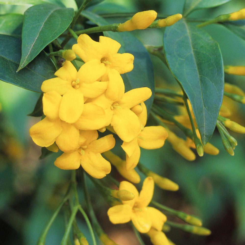 Jasminum humile revolutumitalian jasmine yellow jasmine plants flowers izmirmasajfo Images