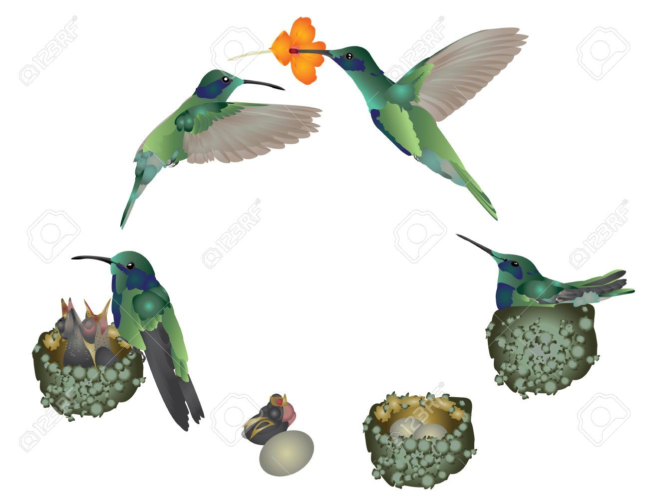 Life cycle of a hummingbird Illustration , SPONSORED,