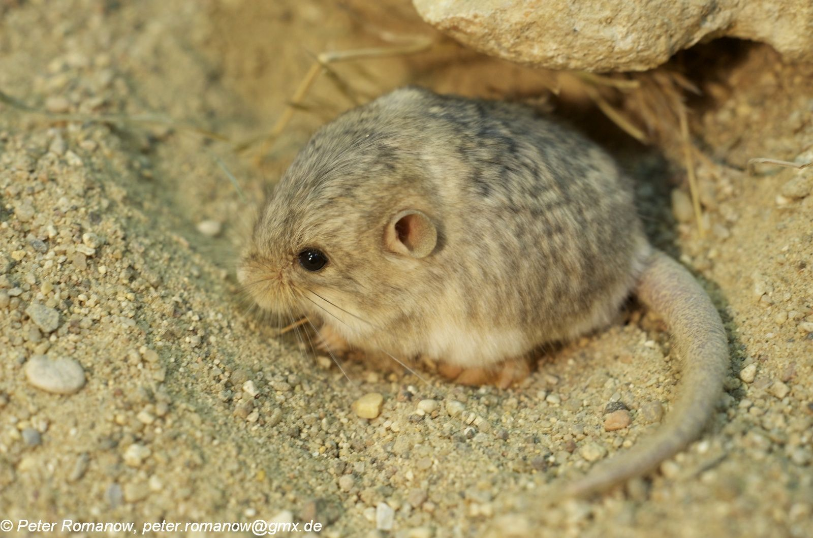 Cardiocranius paradoxus - Five-toed Pygmy Jerboa   Animals ... - photo#7