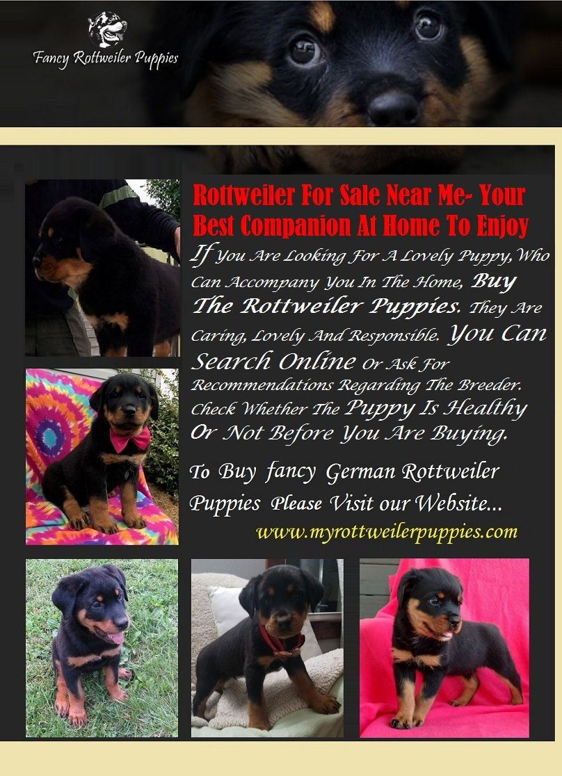 Rottweiler For Sale Near Me Your Best Companion At Home To Enjoy