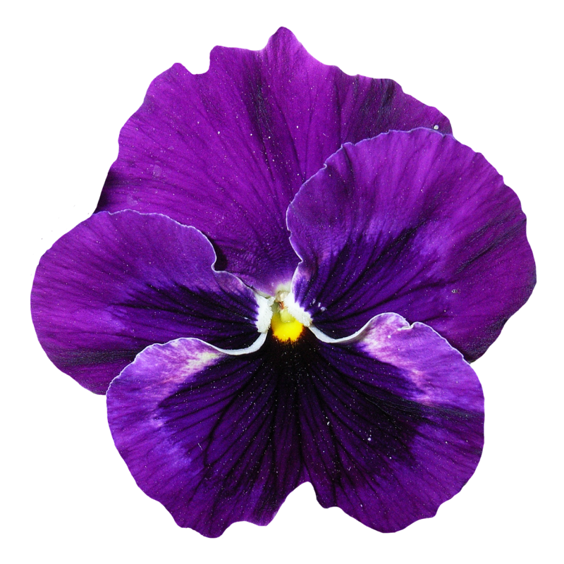 Pansy Flower Png Image Flower Background Wallpaper Pansies Flowers Purple Flower Background