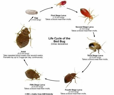 Cimex Lectularius Yahoo Image Search Results Bed Bugs Bed