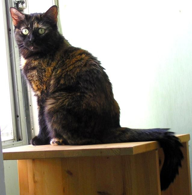 Surprisingly, Poe's muse was not a raven but a tortiseshell cat named Catterina (photo courtesy of Sarah Braun)