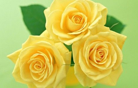 Yellow Rose Wallpaper for Wedding