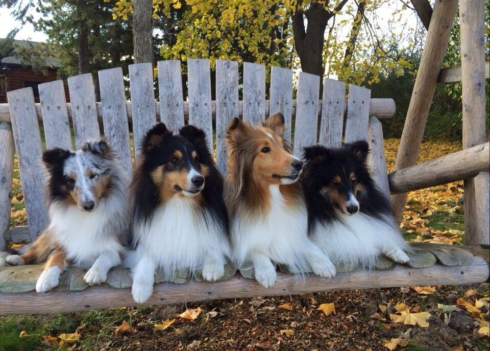 Blue Merle Tri And Sable Shelties Sheltie Dogs Dog Friends