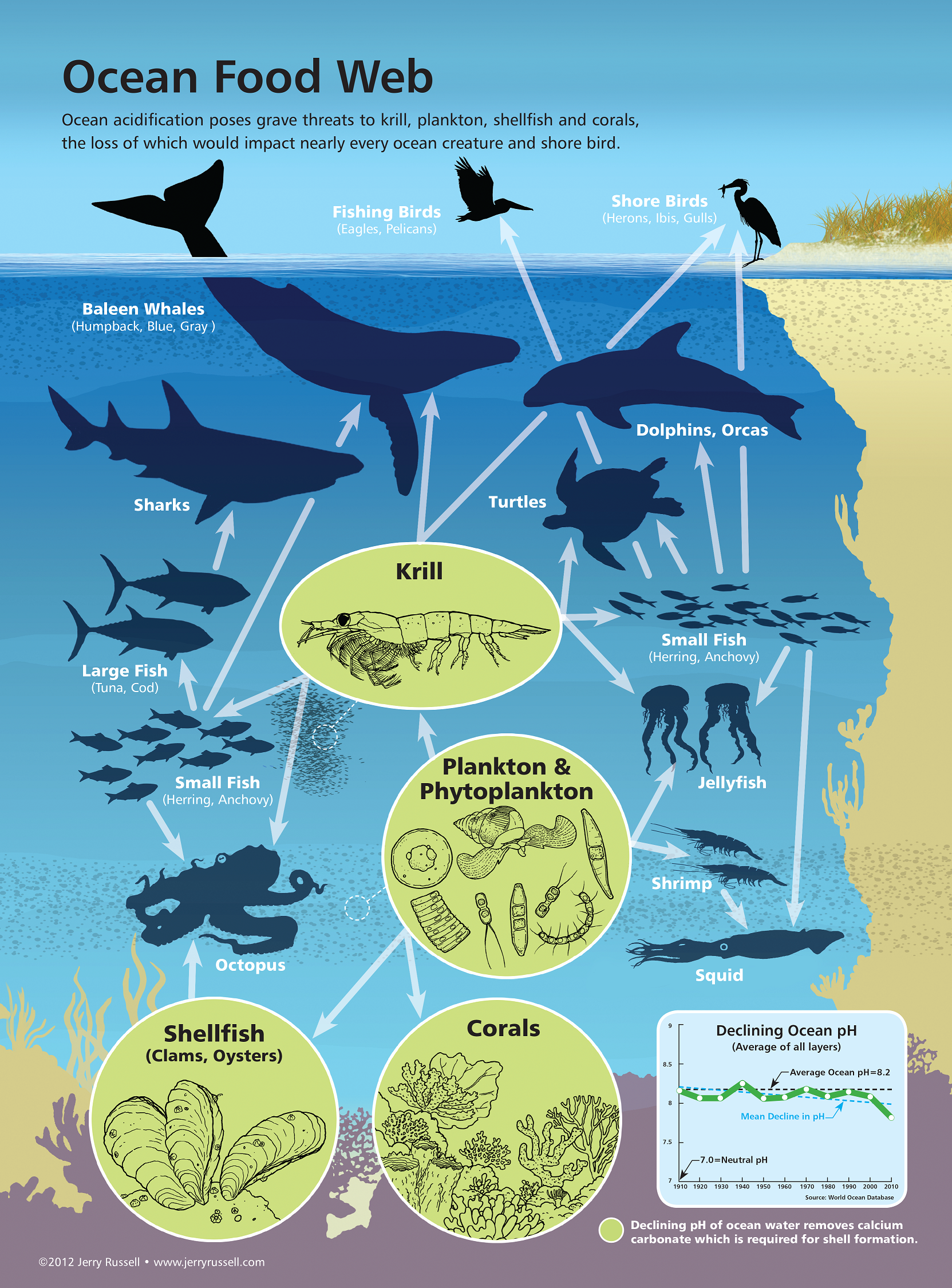 coral reef food chain diagram amp a good impact of ocean acidification on marine webs