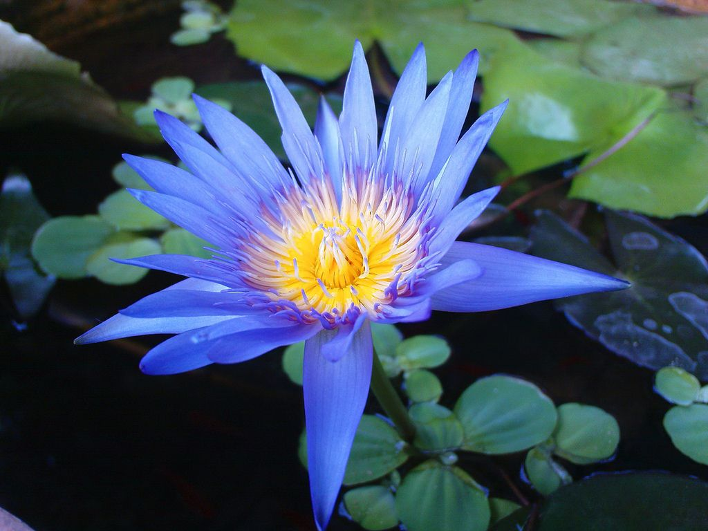 Beautiful Ocean Blue Lotus ดอกบวสนำเงน цветы Blue Lotus