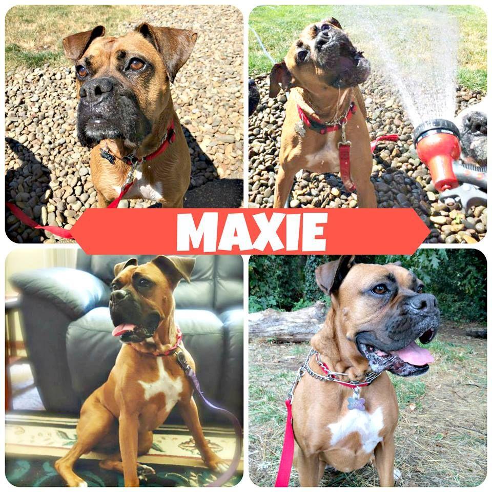 Adopt Maxie On Boxer Rescue Boxer Dogs Boxer Love