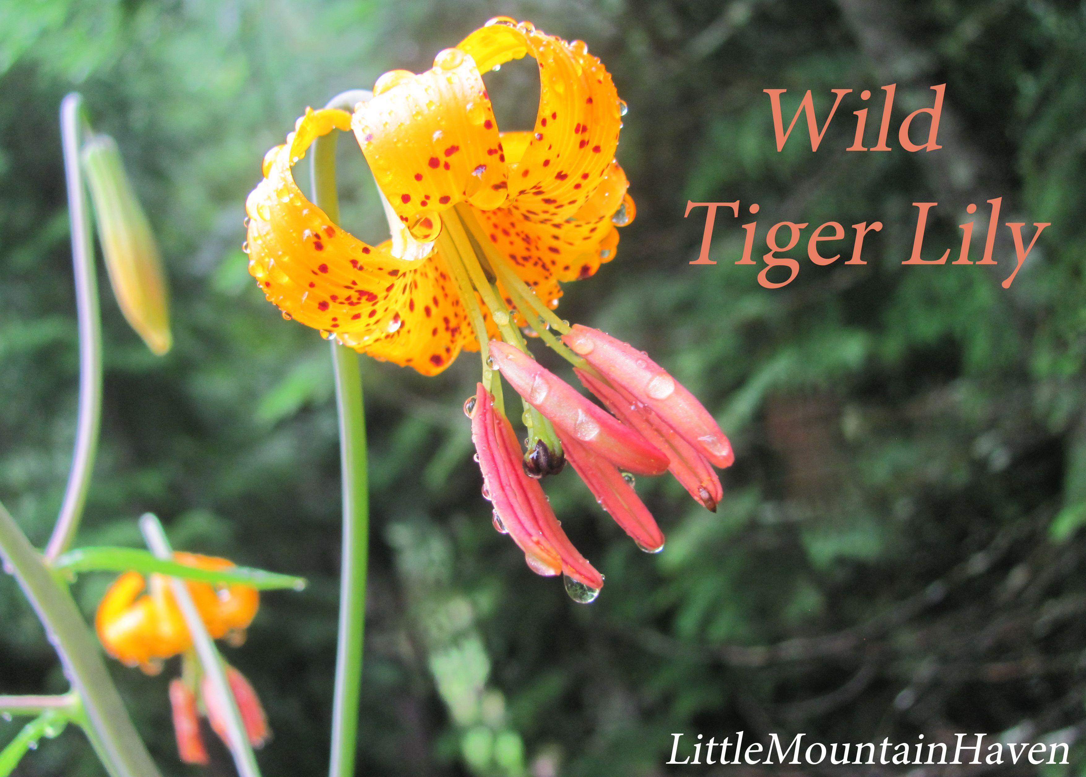 Wild Tiger Lily Gardening Flowers Pinterest