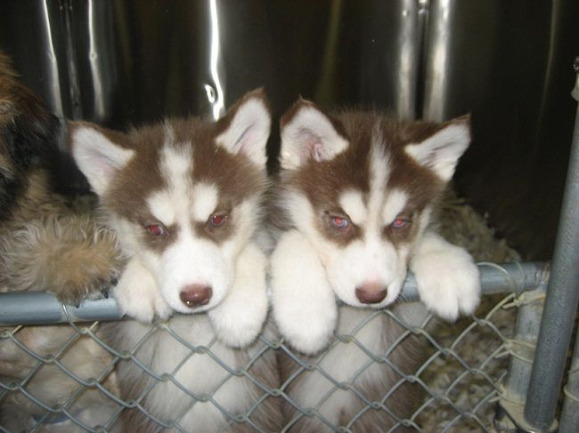 Red Husky Puppy For Sale Zoe Fans Blog Red Husky Puppies Red