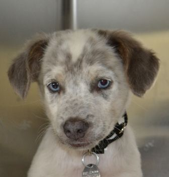 Beautiful Blue Eyes Suzie Blue Heeler Mix 9 Weeks Female