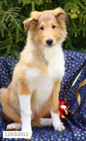 Collie Puppy For Sale Collie Puppies Collie Puppies For Sale