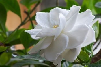 Everything You Wanted To Know About Gardenia Jasminoides Care