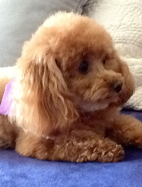 I M A Sweet Apricot Toy Poodle Girl Just Ask Me Puppies And