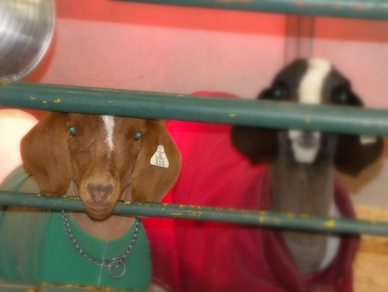 Green Eyed Goat Paso Robles Ca Animals Beast Goats