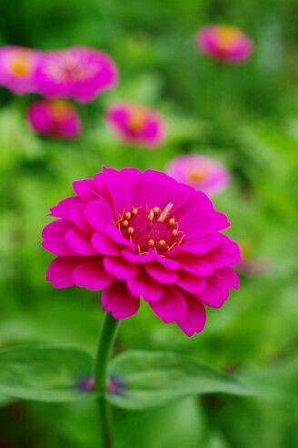日日草 (Rose periwinkle) 13/07/03 秦野市 5/5