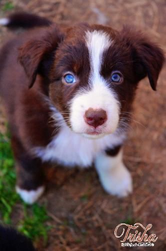 Red Tri Female Australian Shepherd Dog Australian Shepherd